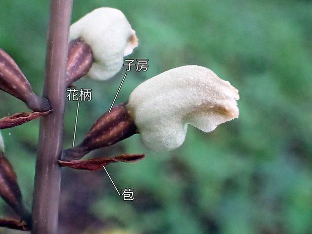 シロテンマの花の側面(子房、毛兵、苞)
