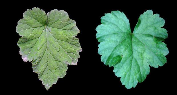 #9 葉の形状比較 左:コシノチャルメルソウ(燕市)、右:コチャルメルソウ(木曽郡)