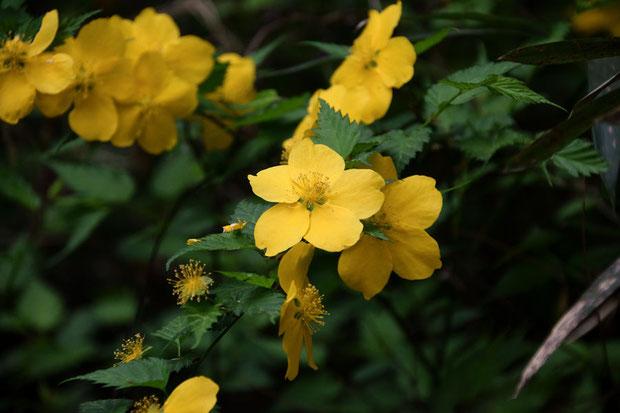 ヤマブキ 花弁は5枚(八重咲きもある)