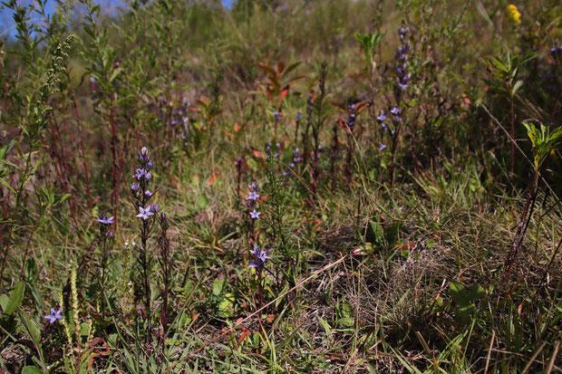 ムラサキセンブリを始め、多くの秋の花たちが咲いていた