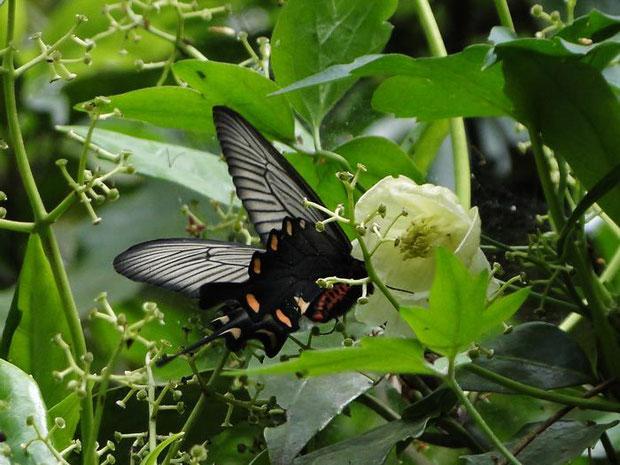 シロバナハンショウヅル ジャコウアゲハが吸蜜に訪れていました。  2012.05.01 神奈川県