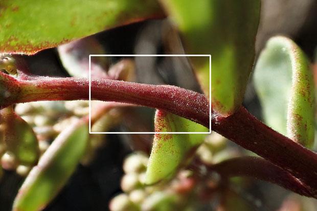これがオオチチッパベンケイの乳頭状突起と呼ばれるものです。 下の写真は枠の中を拡大したもの