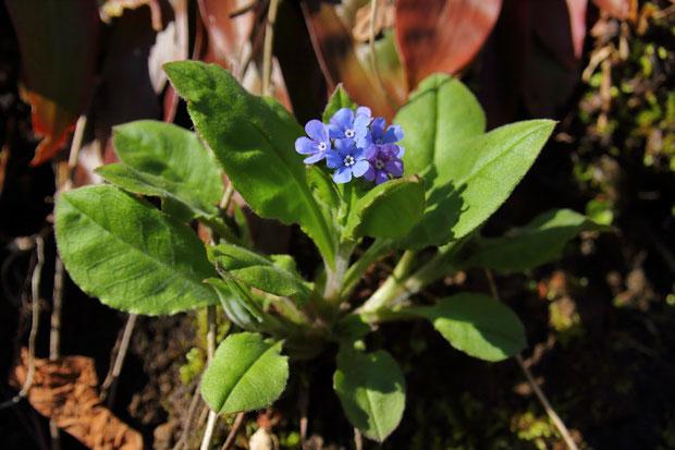 エチゴルリソウは、花茎を伸し切る前から、たくさん花を咲かせる
