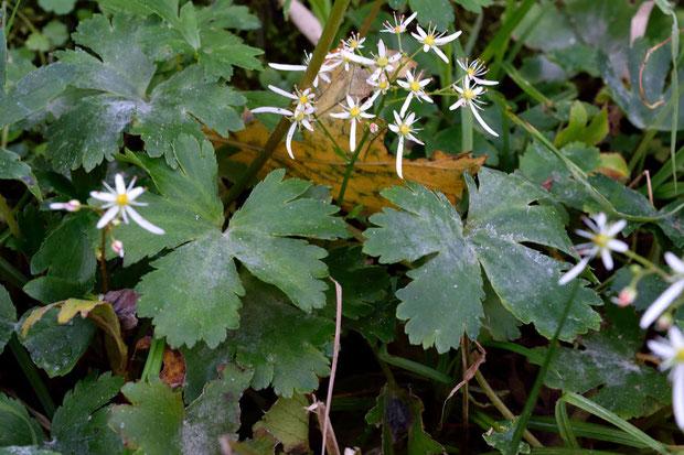 確かにダイモンジソウや、昨日見たウチワダイモンジソウとは葉の形がまったく異なる!