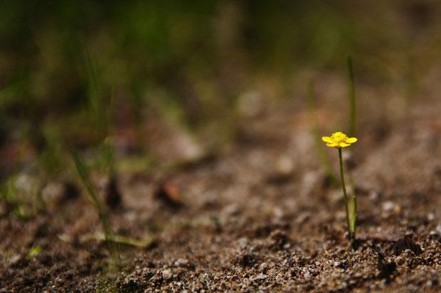 ちっこい! イトキンポウゲの花柄の高さは2〜6cm、花の直径は6.5〜8mmほどしかありません。 準絶滅危惧。