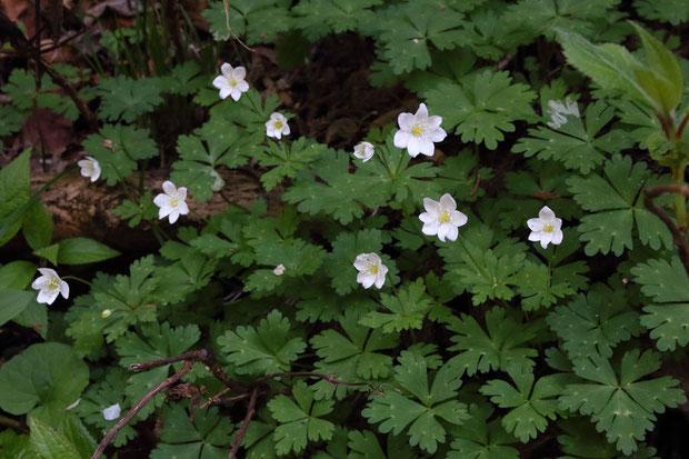 咲いている花がすべて6〜7個の萼裂片をもつニリンソウの株。 栄養繁殖で地下茎を伸ばして増えたものだろう
