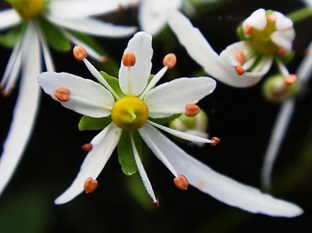 ウチワダイモンジソウの花  花弁に浅い鋸歯がある「キレベンタイプ」もいた