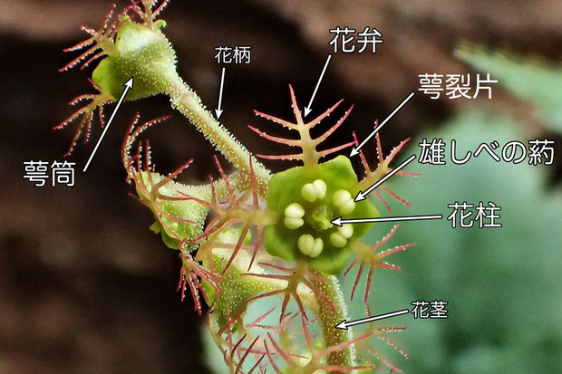 #14 コチャルメルソウの花の構造(萼筒、花弁、萼裂片、花柱、雄しべの葯、花茎、花柄)