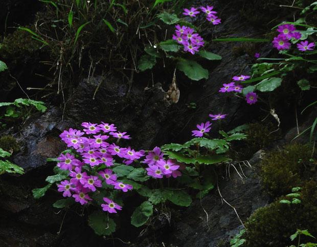 シナノコザクラ  2012.05.27 長野県