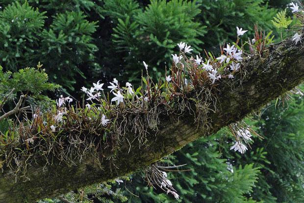 セッコク (石斛) ラン科 セッコク属  発達した根がこのセッコクの歴史を物語ります