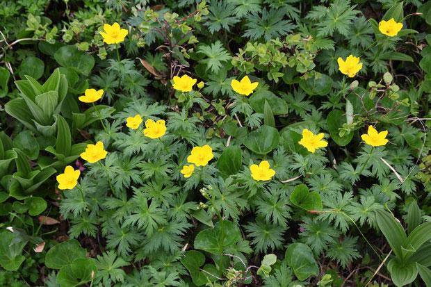 シナノキンバイ (信濃金梅) キンポウゲ科  高さは30cmほど。 径5cmほどの花弁に見える部分は萼片