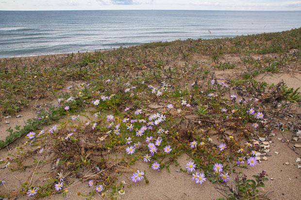 他のライバル植物が少ない場所では、茎は放射状に地面を這い、先端を立ち上げて花を咲かせます