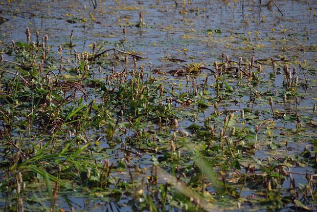 エゾノミズタデは、岸から少し離れた場所には、多数咲いていた