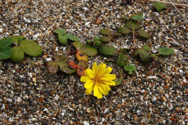ハマニガナ (浜苦菜) キク科 ニガナ属  海岸の砂地に生え、地下茎を長く伸ばして増えます