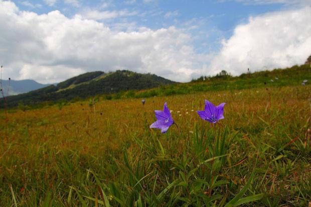 #1 キキョウ (桔梗) キキョウ科 キキョウ属  2011.09.25 長野県上田市