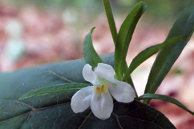 クチナシグサ (梔子草) ハマウツボ科 クチナシグサ属  花が白っぽく、茎も明るい緑色のタイプ