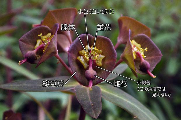 センダイタイゲキの杯状花序  後述するが、上は雄性期の状態。