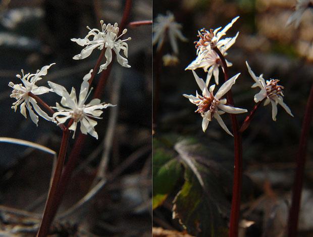 オウレン(キクバオウレン)  左は雄花。右は両性花。