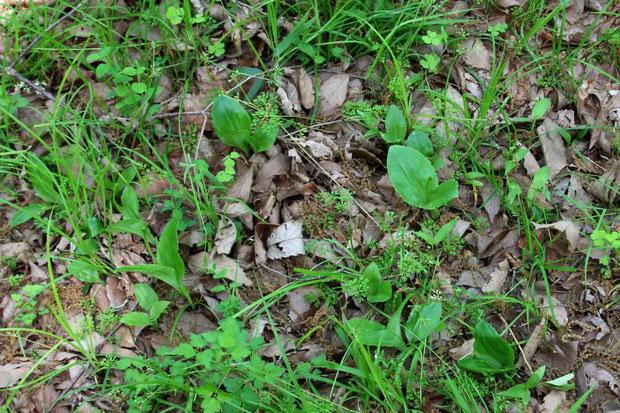 クモキリソウ (雲切草) ラン科 クモキリソウ属 昔セイタカスズムシソウがあった場所の近くに出ていた