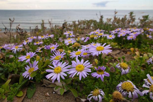 茎の高さや葉の大きさに比べると大きな花です。 直径5〜6cmの花が多かったです