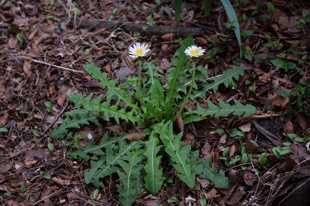 シロバナタンポポ (白花蒲公英) キク科 タンポポ属  在来種。この辺りではあまり見られない