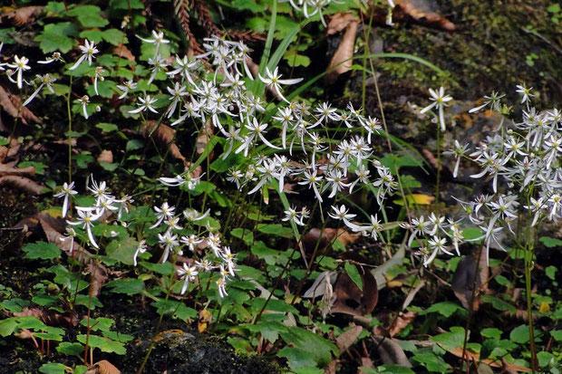 ウチワダイモンジソウ  ダイモンジソウの変種の位置づけです。 本州〜九州に分布