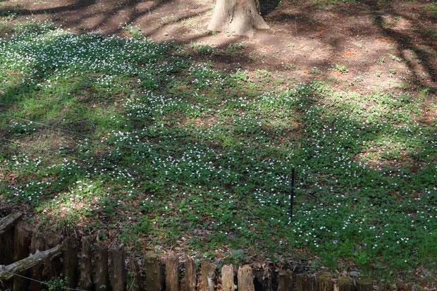 ニリンソウが一面に咲く領域もあった