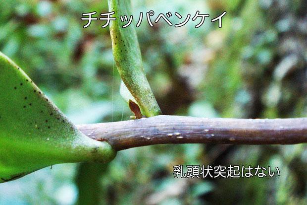比較のため、母種のチチッパベンケイの茎を載せます。 乳頭状突起はなく、明らかに異なります。