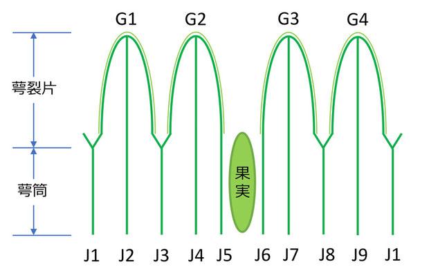図3 萼筒の条と萼裂片の模式図(確定)