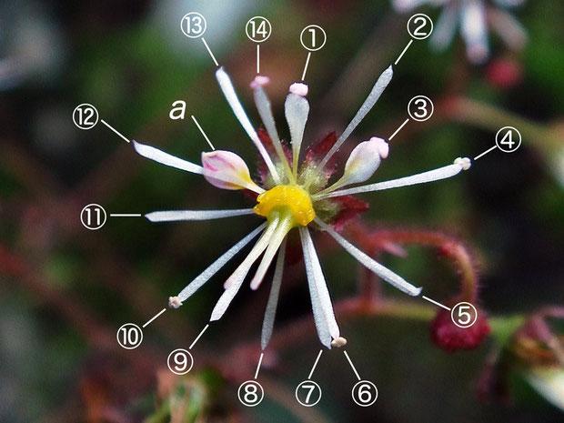 #12 上側花弁の一部も雄しべに変化したホシザキユキノシタの花