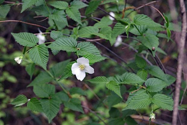 シロヤマブキ (白山吹) バラ科 シロヤマブキ属  シロバナヤマブキではない。植栽かその逸出だろう