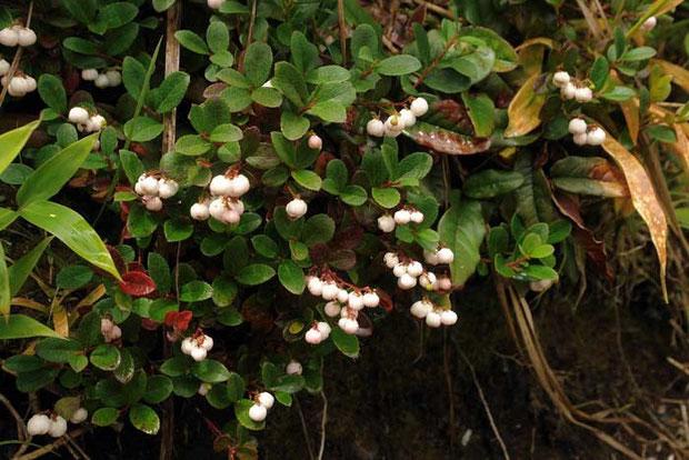 シラタマノキ (白玉の木)  白い果実はよく目立ちます