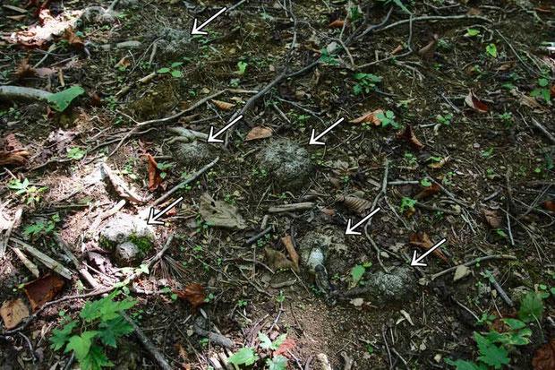 ミヤマツチトリモチの寄生木こぶ