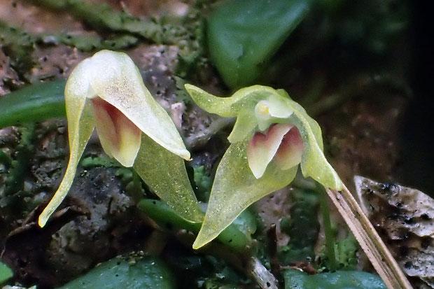 萼片は広披針形で長さ6〜10mm。唇弁は長さ3mmで基部は紅紫色。左の花は逆さまになっていた。