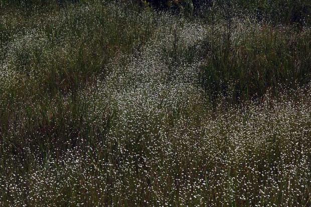 シラタマホシクサの大群生 まるで星空、天の川  まさに「星草」だね