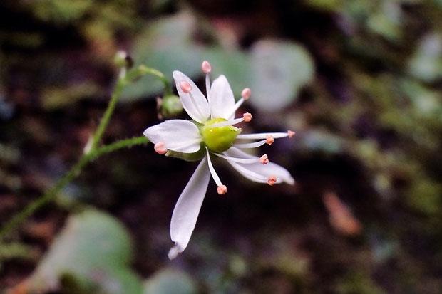#5 イズノシマダイモンジソウの花の側面  柱頭が2個突き出しているのがわかります