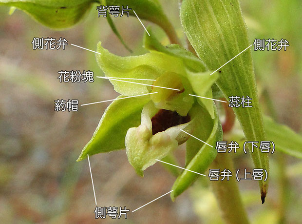 ハマカキランの花の構造(背萼片、側花弁、側萼片、唇弁、葯帽、花粉魁、蕊柱)