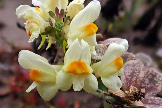 ウンランの花は2唇形。 上唇は2裂し、下唇は3裂して、基部は盛り上がってみかん色となります。