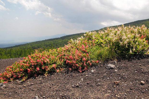 フジイタドリ (富士虎杖) タデ科 イタドリ属  イタドリの高山型で、全体に小型。 別名オノエイタドリ