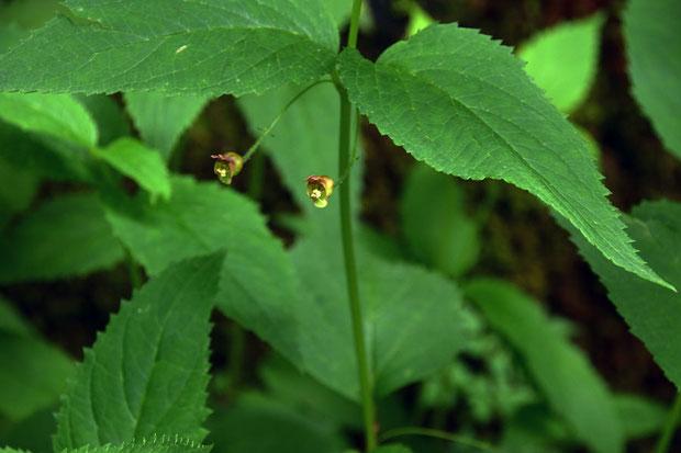 イナサツキヒナノウスツボ 花は必ずしも葉の上に乗るように咲くとも限らないようです