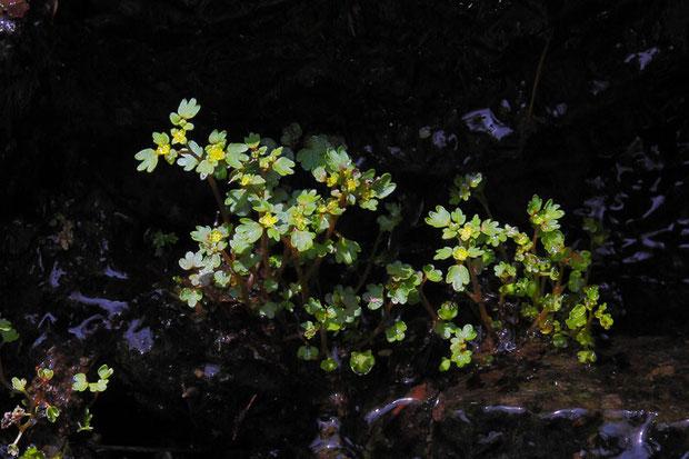ツルネコノメソウ (蔓猫の目草) 花の時期に根生葉はありません 葉は互生