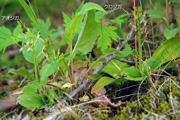 混生するアオジガとクロジガ  2007.07.08 野反湖
