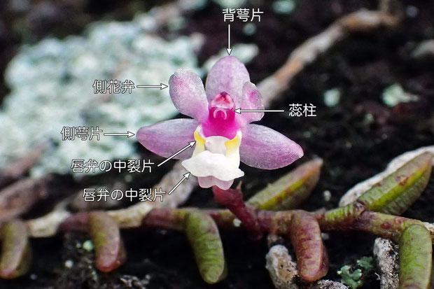#8 ムカデランの花の構造(正面)