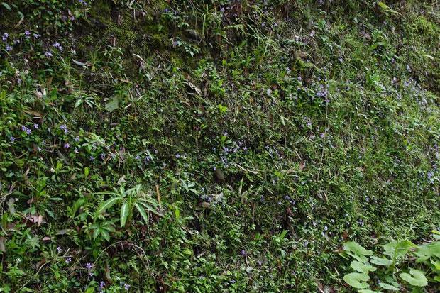 垂直に近い岩壁にタチツボスミレの群生が