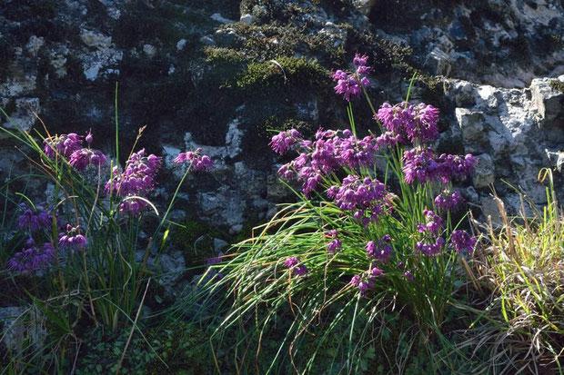 キイイトラッキョウがこんなに花つきがよい植物だとは思っていなかった