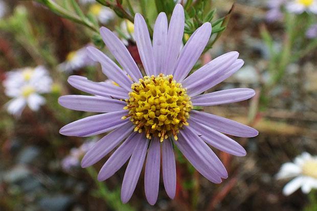 頭花の直径は3〜4cm。 筒状花は黄色。
