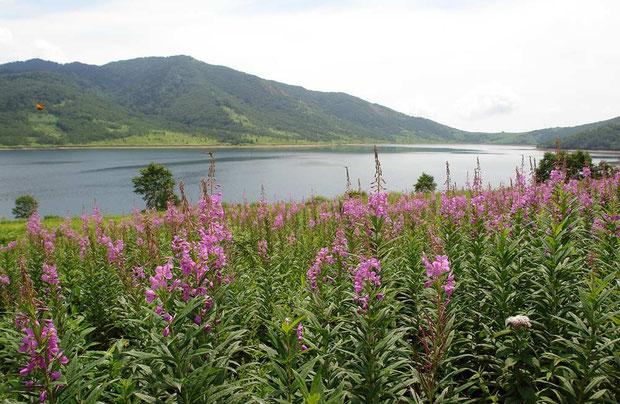 ヤナギランはスラリと背が高い、ちょっと気取った美人さん。 野反湖を代表する風景の一つ