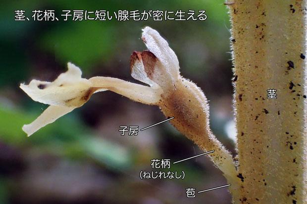 基本種のエゾサカネランとの一番の相違点は、茎・花柄・子房に毛が生えること