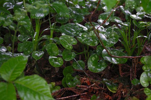 ミチノクサイシン (陸奥細辛) ウマノスズクサ科 カンアオイ属  元気な葉だが... 花はなかった