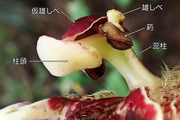 クマガイソウの花の柱頭(仮雄しべ、雄しべ、葯、蕊柱、柱頭)